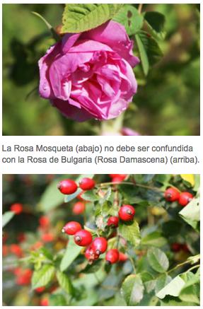 Comparativa Rosa Mosqueta y Rosa Damascena