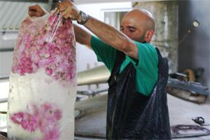 Preparando la destilación de la Rosa Damascena